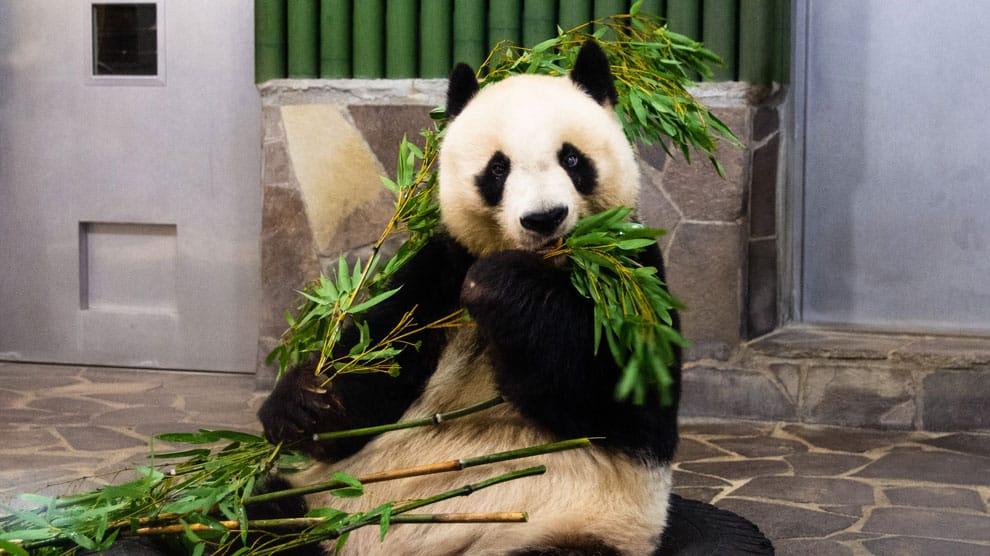 panda nanny als vreemd beroep